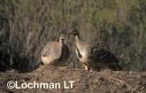 Mallee Fowl Leipoa ocellata pair at nest  PAY-361 ©Jiri Lochman - Lochman LT