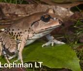 Mixophyes fasciolatus - Great Barred Frog LLP-387 ©Jiri Lochman - Lochman LT