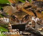 Mixophyes schevilli -Northern Barred Frog  LLF-351 ©Jiri Lochman -Lochman LT