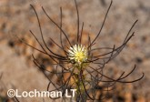 Petrophile acicularis LLO-856 ©Jiri Lochman - Lochman LT