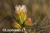 Petrophile acicularis LLO-858 ©Jiri Lochman - Lochman LT