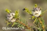 Petrophile arcuata LLO-905 ©Jiri Lochman - Lochman LT
