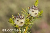 Petrophile arcuata LLO-907 ©Jiri Lochman - Lochman LT