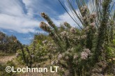Petrophile axillaris AED-202 ©Marie Lochman - Lochman LT