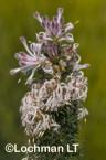 Petrophile axillaris AFE-152 ©Marie Lochman - Lochman LT