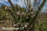 Petrophile axillaris AFE-153 ©Marie Lochman - Lochman LT