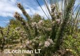 Petrophile axillaris AFE-154 ©Marie Lochman - Lochman LT