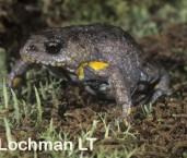 Pseudophryne dendyi - Southern Toadlet PFY-337 ©Jiri Lochman - Lochman LT