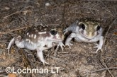 Heleioporus albopunctatus -Spotted Burrowing Frog LLH-803 ©Jiri Lochman -Lochman LT