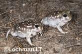 Heleioporus albopunctatus -Spotted Burrowing Frog LLH-804 ©Jiri Lochman -Lochman LT