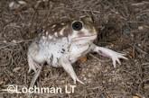 Heleioporus albopunctatus -Spotted Burrowing Frog LLH-805 ©Jiri Lochman -Lochman LT
