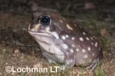 Heleioporus albopunctatus -Spotted Burrowing Frog LLP-308 ©Jiri Lochman -Lochman LT
