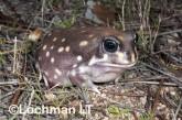 Heleioporus albopunctatus -Spotted Burrowing Frog LLP-309 ©Jiri Lochman -Lochman LT