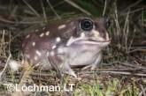 Heleioporus albopunctatus -Spotted Burrowing Frog LLP-310 ©Jiri Lochman -Lochman LT