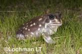 Heleioporus albopunctatus -Spotted Burrowing Frog LLP-311 ©Jiri Lochman -Lochman LT