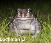 Heleioporus albopunctatus -Spotted Burrowing Frog LLP-312 ©Jiri Lochman -Lochman LT
