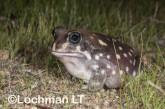 Heleioporus albopunctatus -Spotted Burrowing Frog LLP-313 ©Jiri Lochman -Lochman LT
