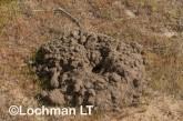 Heleioporus albopunctatus -Spotted Burrowing Frog LLP-441 ©Jiri Lochman -Lochman LT