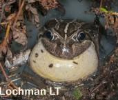 Limnodynastes dorsalis  -Western Banjo Frog LLO-594 ©Jiri Lochman -Lochman LT