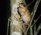 Litoria peronii - Peron's Tree Frog PDY-452 ©Jiri Lochman - Lochman LT