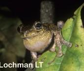 Litoria peronii - Peron's Tree Frog PDY-463 ©Jiri Lochman - Lochman LT
