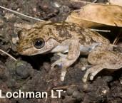Litoria rheocola - Common Mist Frog LLG-937 ©Jiri Lochman -Lochman LT