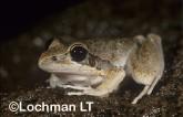 Litoria watjulumensis - Wotjulum Frog YBY-309 ©Jiri Lochman - Lochman LT