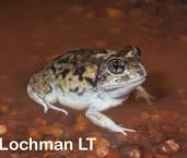 Neobatrachus albipens -White-footed Frog LLM-234 ©Jiri Lochman -Lochman LT