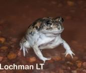 Neobatrachus albipens -White-footed Frog LLP-394 ©Jiri Lochman -Lochman LT