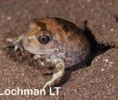 Neobatrachus centralis - Trilling Frog XXY-788 ©Jiri Lochman - Lochman LT