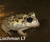 Neobatrachus kunapalari - Kunapalari Frog PAY-686 ©Jiri Lochman - Lochman LT