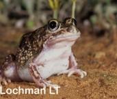 Neobatrachus pelobatoides - Humming Frog LJY-202 ©Jiri Lochman - Lochman LT