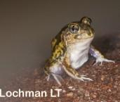 Neobatrachus sudelli - Sudell's Frog LLP-405 ©Jiri Lochman - Lochman LT