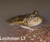 Neobatrachus sudelli - Sudell's Frog LLP-406 ©Jiri Lochman - Lochman LT
