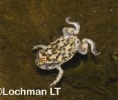 Neobatrachus sutor - Shoemaker Frog LLF-429 ©Jiri Lochman -Lochman LT