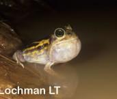 Neobatrachus wilsmorei - Goldfields Bullfrog LKY-335 ©Jiri Lochman - Lochman LT
