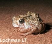 Notaden nichollsi - Desert Spadefoot Toad LLP-420 ©Jiri Lochman - Lochman LT