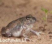 Platyplectrum ornatum - Ornate Burrowing Frog LLP-345 ©Jiri Lochman - Lochman LT