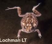Platyplectrum spenceri - Spencer's Burrowing Frog YYY-756 ©Jiri Lochman - Lochman LT
