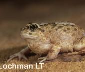 Platyplectrum spenceri - Spencer's Burrowing Frog ZRY-544 ©Jiri Lochman - Lochman LT