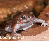 Uperoleia glandulosa - Glandular Toadlet LLP-436 ©Jiri Lochman - Lochman LT