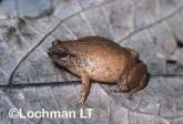 Austrochaperina fryi -Fry's Nursery-frog HFY-508 ©Hans & Judy Beste -Lochman LT
