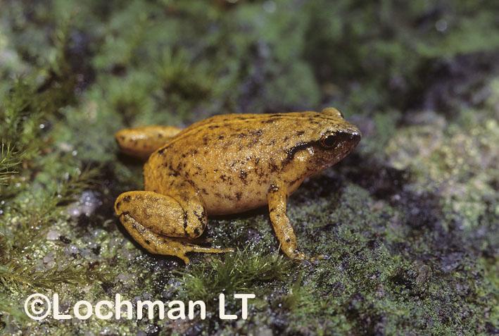 Robust Nursery Frog