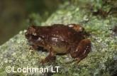 Cophixalus concinnus -Elegant Nursery-frog HFY-914 ©Hans & Judy Beste -Lochman LT