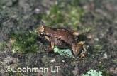 Cophixalus concinnus -Elegant Nursery-frog HFY-920 ©Hans & Judy Beste -Lochman LT