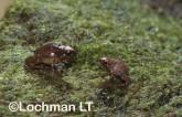 Cophixalus concinnus -Elegant Nursery-frog HFY-922 ©Hans & Judy Beste -Lochman LT