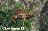 Cophixalus hosmeri -Pipping Nursery-Frog HFY-946 ©Hans & Judy Beste -Lochman LT