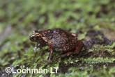 Cophixalus infacetus -Inelegant Nursery-frog HFY-529 ©Hans & Judy Beste -Lochman LT
