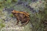 Cophixalus ornatus -Ornate Nursery-frog HFY-931 ©Hans & Judy Beste -Lochman LT