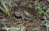 Cyclorana alboguttata - Striped Burrowing Frog GSY-582 ©Gunther Schmida -Lochman LT